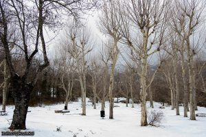 trees with no leaves in snowy winter