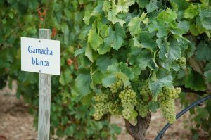 sign garnacha blanca with grape vines