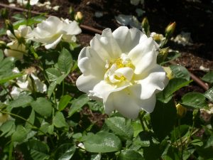a white rose in bloom