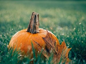 pumpkin with leave in grass